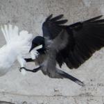 colomba corvo